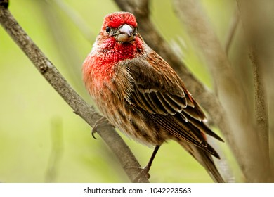 House finch perched on a branch.  Closeup
