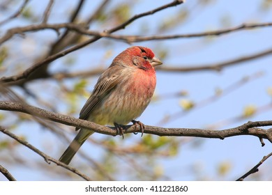 House finch perched in tree.