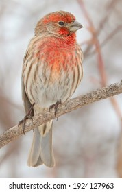 House finch sitting on a branch in winter, Quebec, Canada