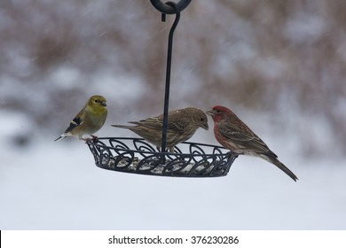 House finches (female and male) and gold finches (male in winter garb) sharing breakfast from a backyard bird feeder on a cold, snowy Winter morning.