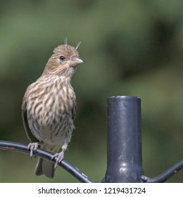 """House Finches are frequent visitors to our backyard feeders. This pretty little female with """"hair sprouts"""" posed nicely for this portrait."""