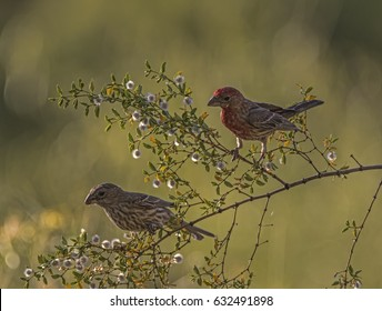 House Finches in Phoenix Mountain Preserve
