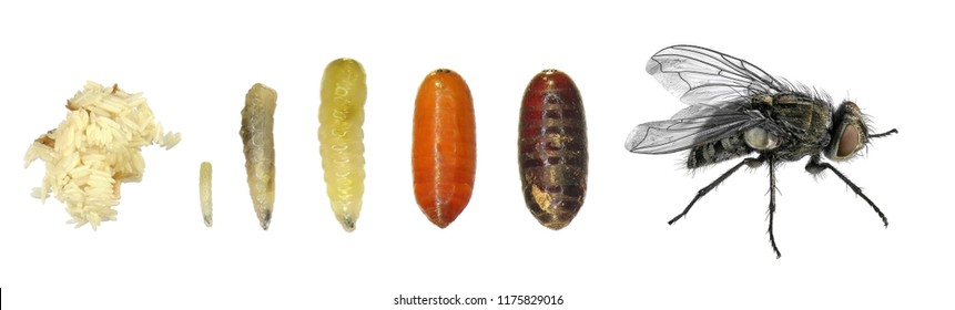 House fly. Development stages (eggs, larva, imago). Isolated on a white background