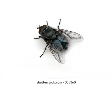 House fly macro isolated over white