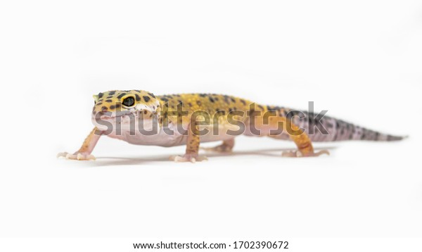 House gecko with grey and yellow stripes, isolated on a white background