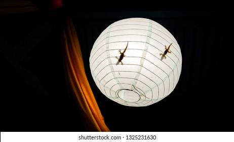House Geckos Inside Chinese Paper Lantern - Boracay, Philippines