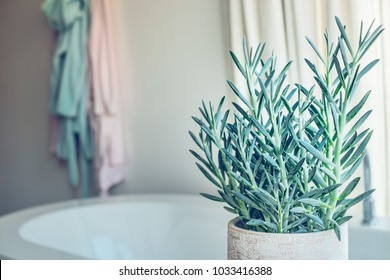 House green plant succulent  Senecio serpens or Blue Chalksticks in bathroom, close up