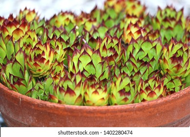 house leeks or houseleeks in a pot Latin sempervivum calcareum a variant of tectorum closeup in Italy also called live for ever or hen and chicks