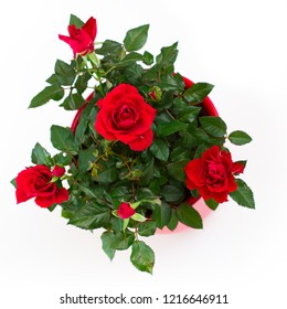 House little beautiful red rose in pot isolated on white. Dwarf rose.
