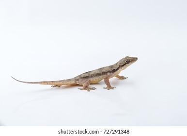 ヤモリの画像写真素材ベクター画像 Shutterstock