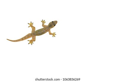 House lizard isolated white background.