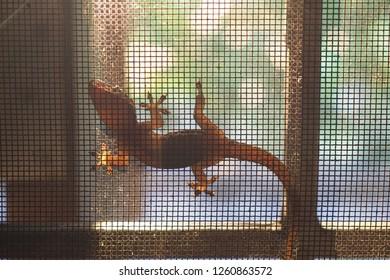 House lizard or little gecko
