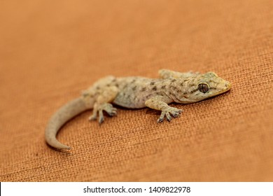 House lizard or little gecko close up - Image