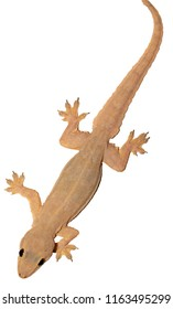 Gecko Object Images, Stock Photos & Vectors | Shutterstock