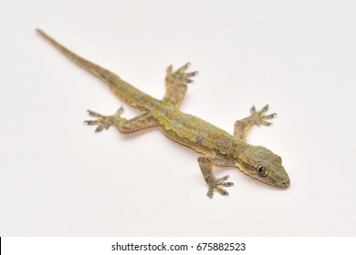 House lizard on a vanilla colored wall.