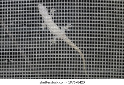House lizard tail (English: Flat-tailed house gecko; Scientific name: Hemidactylus platyurus) reptile species. House lizard genus Wong lizards and geckos