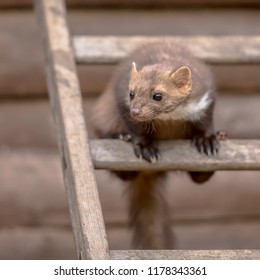 House Marten (Martes foina) also known as Beech Marten or Stone marten. Sitting and looking on a ladder to an attic