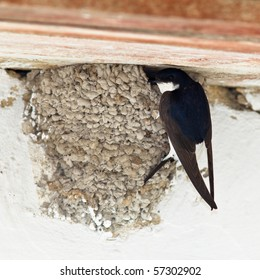 House Martin (Delichon urbica) by nest with chicks.