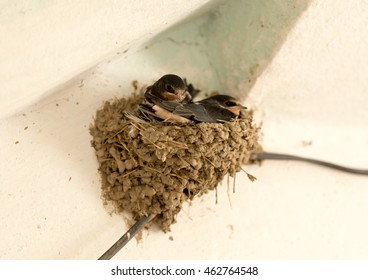 House Martin, Delichon urbica. Older chicks in nest