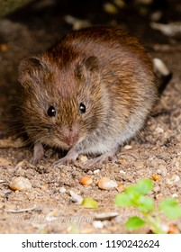 House Mouse close up