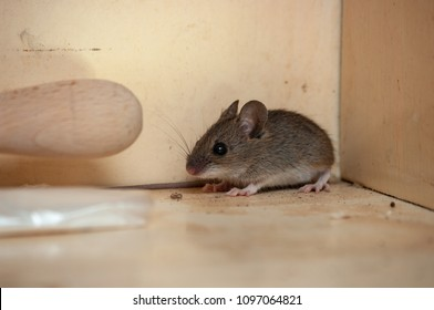 House mouse in the corner of the cupboard. Variation 1
