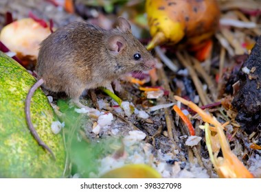 House mouse feeding in a scrapyard 2