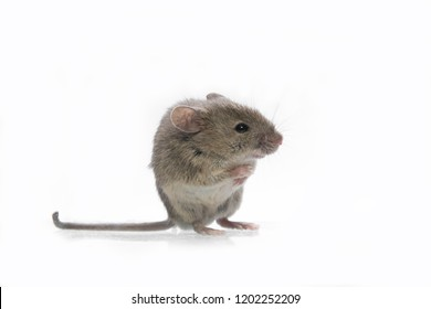 house mouse isolated white backgound