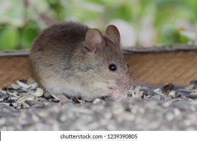 House Mouse (Mus domesticus). Mice are the most common pest in both domestic and commercial premises and can contaminate food stuffs and cause serious