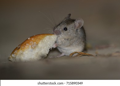 House Mouse (Mus domesticus). Mice are the most common pest in both domestic and commercial premises and can contaminate food stuffs and cause serious. Mouse eating bread.