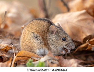 House Mouse (Mus domesticus) in nature among fallen autumn leaves. House Mouse (Mus domesticus).