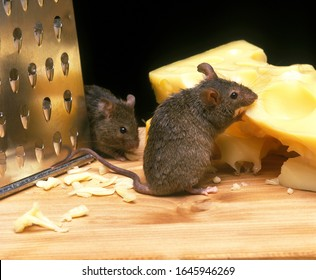 House Mouse, mus musculus, Adult Eating Emmental Cheese