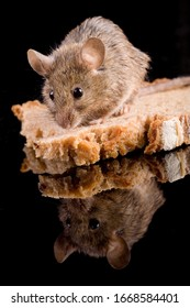 House mouse (mus musculus) with bred