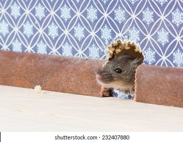 House Mouse  (Mus musculus)   gets into the room through a hole in the wall