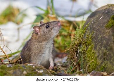House Mouse (Mus musculus Linnaeus)