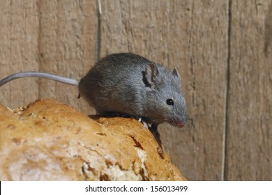 House mouse, Mus musculus, Midlands, UK