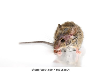 house mouse (Mus musculus) on white background Close-up s