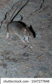 House mouse (Mus musculus). The Pardelas Ravine. The Nublo Rural Park. Mogan. Gran Canaria. Canary Islands. Spain.