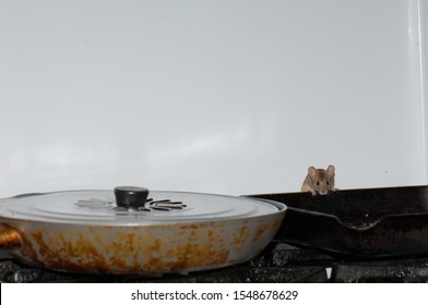 House mouse (Mus musculus) searching for food in a kitchen. Cruz de Pajonales. Tejeda. Gran Canaria. Canary Islands. Spain.
