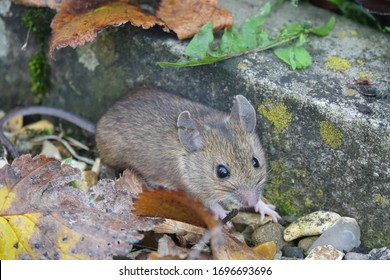 House Mouse (Mus musculus) standing on ground.