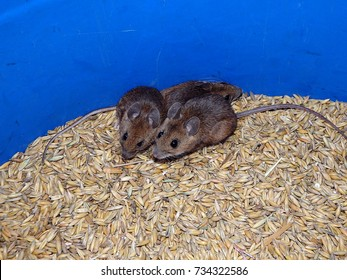 House mouse and oats,(Mus musculus)