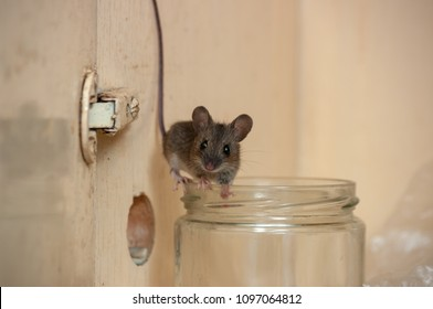House mouse on the edge of a glass jar. Variation 1