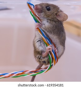 A house mouse sits on a colored electrical cable twisted pair