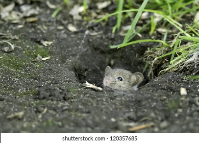 House Mouse sticking its head out of a hole in the ground. Centre Island, Toronto, Ontario, Canada.