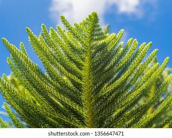 House Pine/Norfolk Island Pine (Araucaria heterophylla, Araucaria cookii ) on blue sky background, bottom view, closeup
