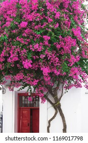 A house  with pink Bougainvillea and a red door in the Mediterranean