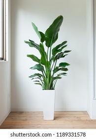 House plant Augusta