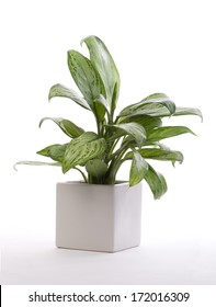 House Plant - Chinese Evergreen