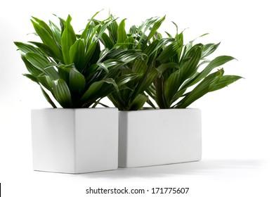 House Plant - Compact Dracaena