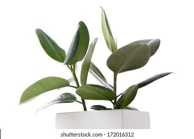 House Plant - Ficus