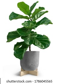 House Plant of Fiddle leaf fig tree in loft pot on white background